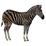 Chapman's Zebra (Robert, Royboy407 & Tom)