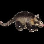 Common Opossum (Raulfpv)