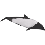 Commerson's Dolphin (Whalebite)