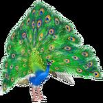 Ambient Peafowl (Penguinman)