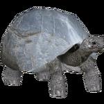 Aldabra Giant Tortoise (Bunyupy & Iguano)