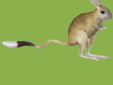 Great Jerboa (HENDRIX)