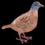 Blue-headed Wood Dove (Zoo Tycooner FR)