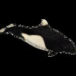 Dall's Porpoise (Eryel)