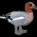 Eurasian Wigeon (JimmyzHoopz)