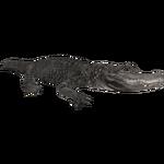 American Alligator (Burnt Gecko)
