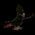 Banksian Cockatoo (Tamara Henson)