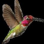 Ambient Anna's Hummingbird (Whalebite)