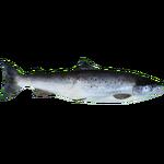 Atlantic Salmon (HENDRIX)