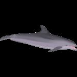 Atlantic Bottlenose Dolphin (ObsidianAngst)