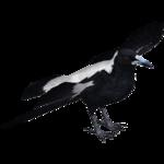 Australian Magpie (Jannick)