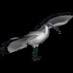 Australian White Ibis (Dedennedillo)