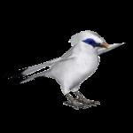 Bali Starling (Jannick)