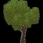 Maple (Zeta-Designs)