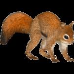 American Red Squirrel (Tamara Henson)