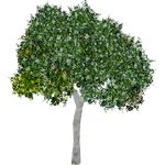 Clusia Tree (Mika & Penguinman)