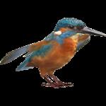 Common Kingfisher (Zerosvalmont)