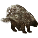 American Porcupine (Tamara Henson)