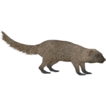 Egyptian Mongoose (aquila & Maximilian)