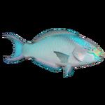 Bicolour Parrotfish (Thom)