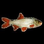 Common Rudd (Ulquiorra)