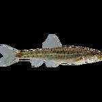 Erimystax x-punctatus (Brzoza)