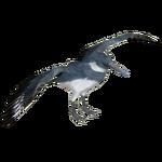 Belted Kingfisher (Tamara Henson)