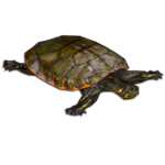 Alabama Red-bellied Cooter (MiBound)