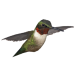 Ambient Ruby-throated Hummingbird (Jannick)