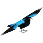 Asian Fairy Bluebird (Tamara Henson)
