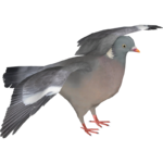 Common Wood Pigeon (Ulquiorra)