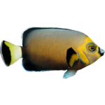Conspicuous Angelfish (Whalebite)