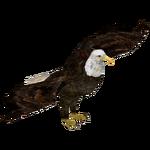 Bald Eagle (Bahia46)