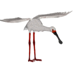 African Spoonbill (Ron)