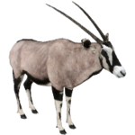 Gemsbok (Aurora Designs)
