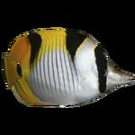 Blackwedged Butterflyfish (DutchDesigns)