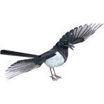 European Magpie (hongopedo)