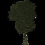 Lime Tree (Thom)