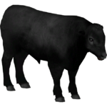 Aberdeen Angus Cattle (Ulquiorra)