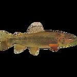 Apache Trout (Whalebite)