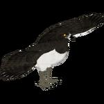 Black-chested Snake Eagle (Jannick)