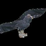 Black Vulture (Dedennedillo)