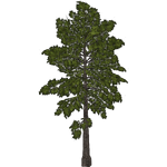 Kahikatea Tree (Paleop)