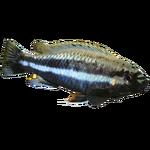 Auratus Cichlid (Brzoza)