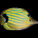 Bluestripe Butterflyfish (Dycki1231)