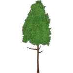 Rainbow Eucalyptus (Artifex)