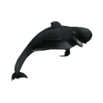 Short-Finned Pilot Whale (Aurora Designs)