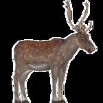 Axis Deer (Robert)