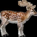 Fallow Deer (ZTABC Team)