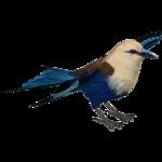 Blue-bellied Roller (MiBound)